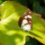 vlindergroenblad.170039